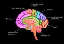 Human Brain Lntersection