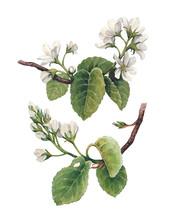 Watercolor Apple Flowers