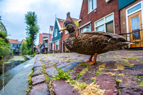 City on the water Duck and traditional houses in Holland