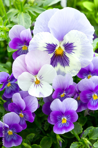 Many pansy flowers
