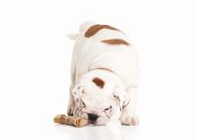 English Bulldog Puppy On White...