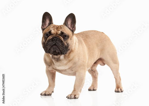 Türaufkleber Französisch bulldog French bulldog puppy on white background