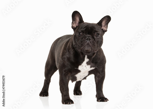 Poster Bouledogue français French bulldog puppy on white background