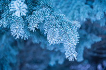 Winter Background, Close Up Of Frosted Pine Branch On A Snowing