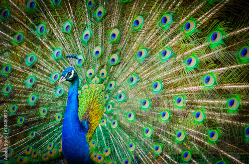 Photo sur Aluminium Paon Portrait of beautiful peacock with feathers out