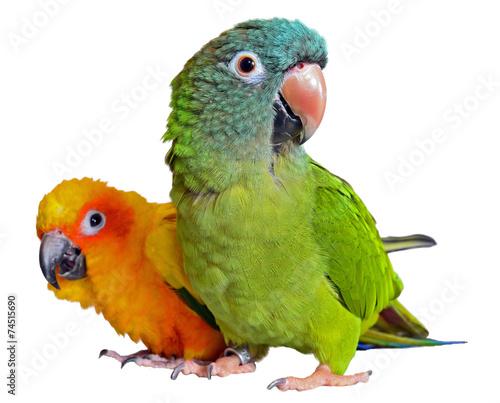 Staande foto Vogel Conure Parrots