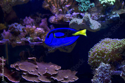 Poster Coral reefs Рыба Хирург голубой (королевский)