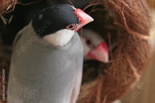 Fotografie, Obraz 巣から覗く文鳥