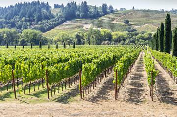 Fototapeta na wymiar Vineyard in the hilly Napa Valley area