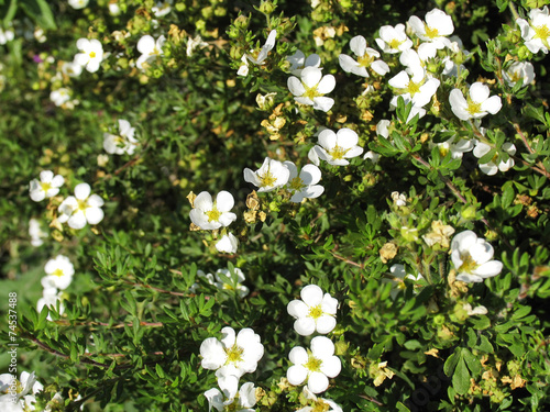 Foto  Potentilla fnuticosa - small white garden flowers