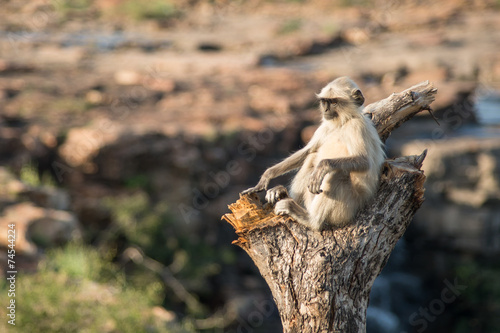 Fotografie, Obraz  Blace faced monkey, grey langur