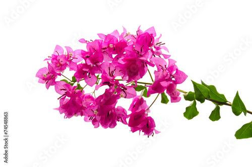 Pink blooming bougainvilleas Fotobehang
