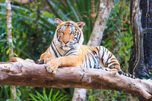 Bengal Tiger (Panthera Tigris ...