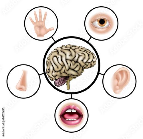 Foto  Fünf Sinne Gehirn