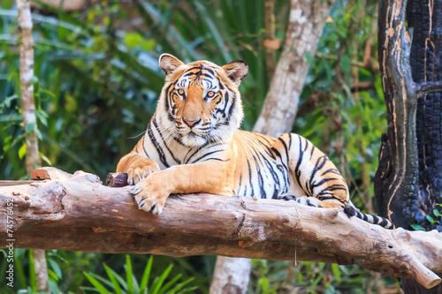 Tela Bengal tiger (Panthera tigris tigris) in the zoo