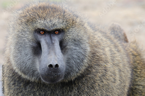 Into eyes of baboon Canvas Print