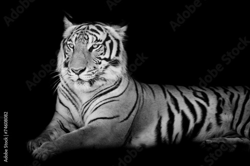 Fotomurales - Black and White grand Tiger