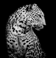 Fototapeta Pantera black and white side of Leopard