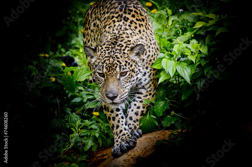 Jaguar walking in the forrest #74608260