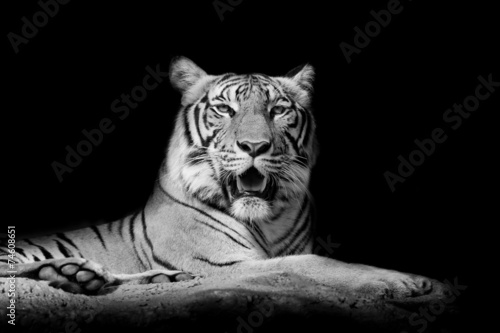 Fotomurales - Black and White Close up tiger