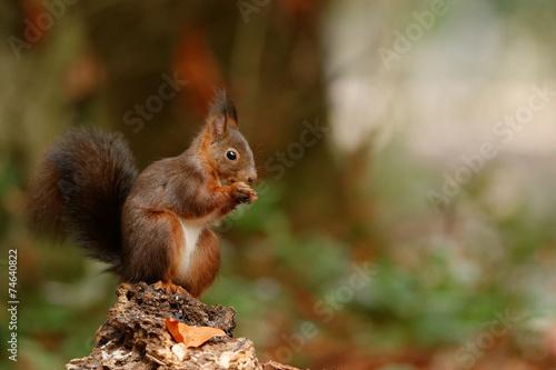 Fotobehang Eekhoorn Repas dans la forêt