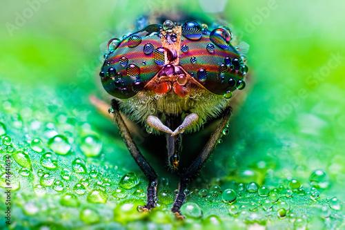 Canvas Print Close up view of the eyes a Tabanus abdominalis horsefly with ra
