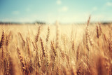 Fototapeta Natura - golden wheat field and sunny day