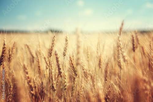 Poster Landscapes golden wheat field and sunny day