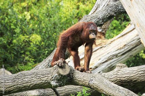 Female Bornean orangutan Poster