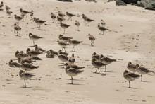 Flock Of Godwits On Sandy Beach