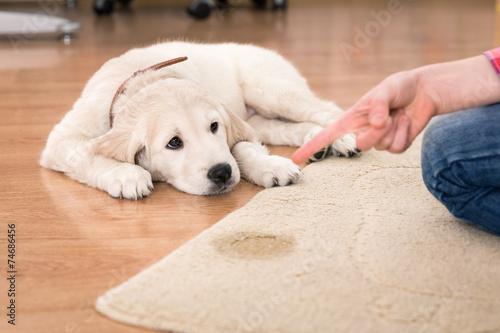 Obraz house training of guilty puppy - fototapety do salonu
