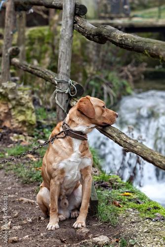 фотографія  cane legato con catena