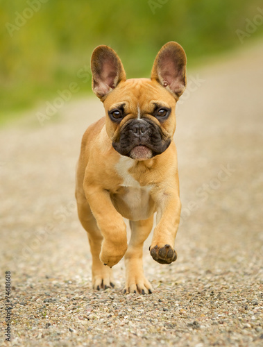 Deurstickers Franse bulldog Young French Bulldog