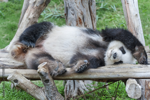 Stickers pour porte Panda A sleeping giant panda bear