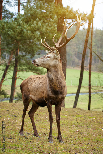 Deurstickers Hert Beautiful image of deer stag in forest landscape of forest in Au