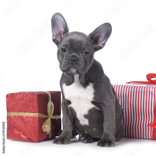 Keuken foto achterwand Franse bulldog Französische Bulldogge Welpe mit Weihnachtsgeschenk