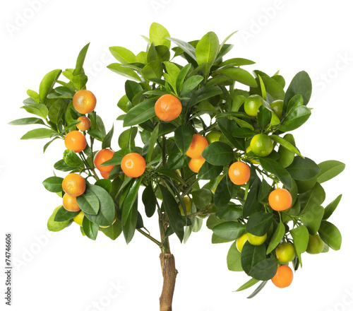 Fotografie, Tablou tangerine tree isolated on the white background
