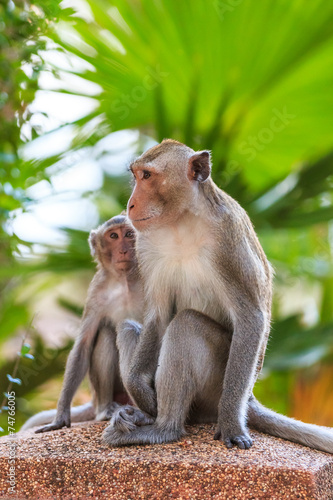 Foto op Plexiglas Indonesië One Couple of Monkey (Crab-eating macaque) in Thailand