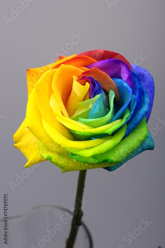 Foto op Canvas Madeliefjes Rainbow rose or happy flower