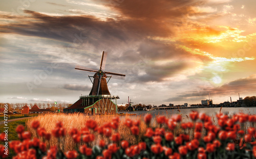 Fotografering  Dutch windmills with red tulips close the Amsterdam, Holland