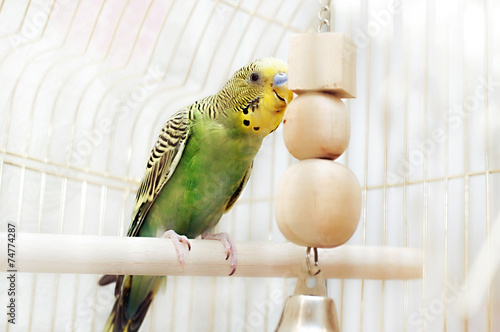 Fotografie, Obraz  Budgerigar sitting with his toy friend.