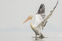 Dalmatian Pelican In Flight Hunting