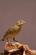 Female Southern Red Bishop Perched On Rock; Euplectes Orix