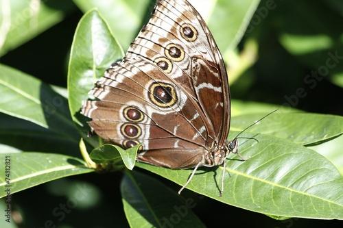 Fotografie, Obraz  Morpho butterfly - ventral view