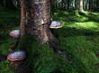 Drei grosse rötliche Baumpilze