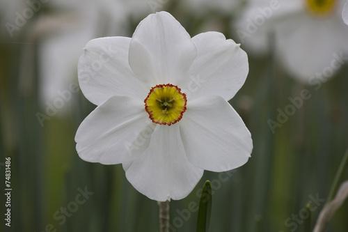 Papiers peints Narcisse Jonquille Narcisse fleur printemps