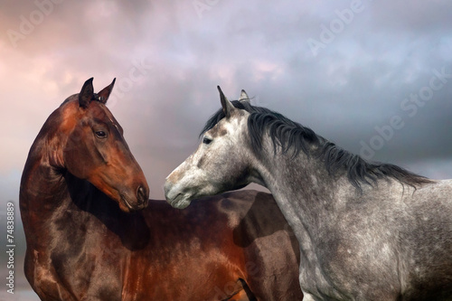Obraz na plátne  Beautiful black and grey colour horse couple in love.