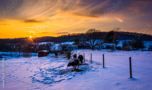 Printed kitchen splashbacks Eggplant Sunset over cows in a snow-covered farm field in Carroll County