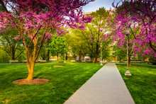 Redbud Trees Along A Path At T...