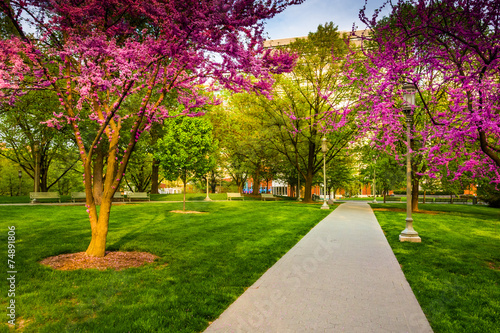 Vászonkép Redbud trees along a path at the Capitol Complex in Harrisburg,